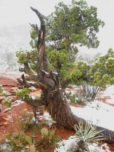 tree at sedona vortexes