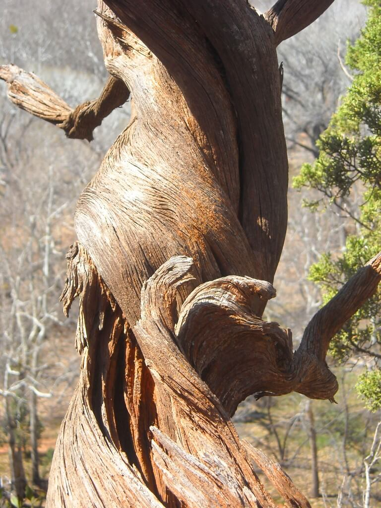 twisting tree at sedona vortexes