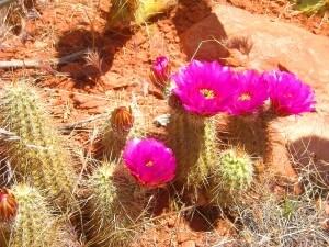 desert cactus flowers near sedona